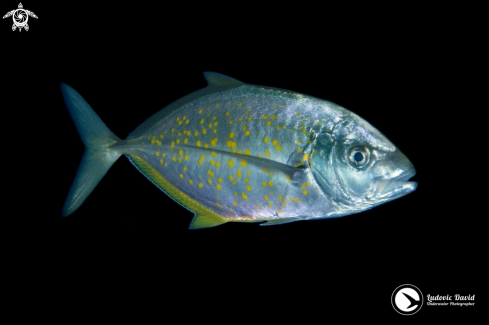 A Orange-Spotted Trevally