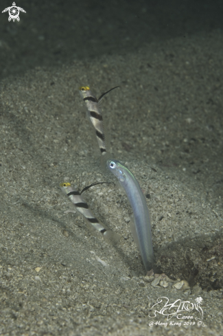 A Filament-Finned Prawn Goby