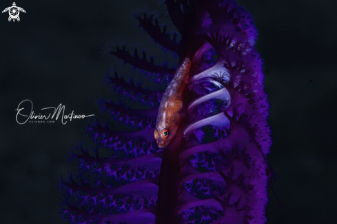A Pleurosicya Mossambica | Red Toothy Goby
