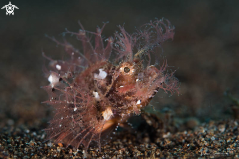 A Ambon Scorpion Fish