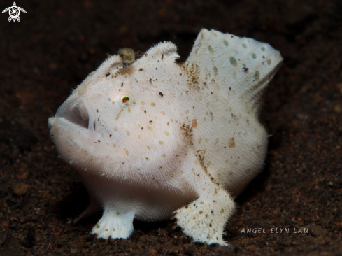 A Baby Hairy Frogfish