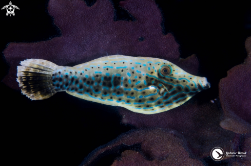 A Scrawled Filefish
