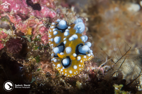 A Ocellated Phyllidia Nudibranch