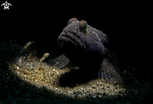 A Blu -speckled Goby | Blu -speckled Goby