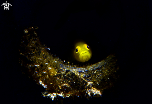 A Gold goby | Gold goby