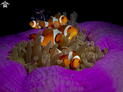 A Clownfishes with anemone shrimps