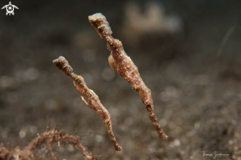 A Ghostpipefish