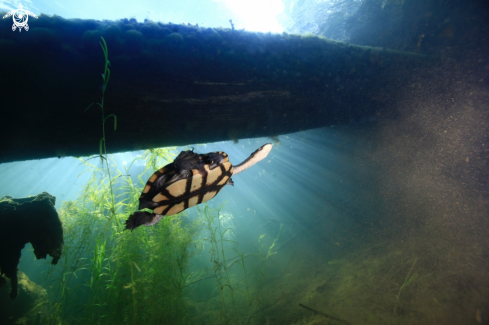 A Freshwater Turtle
