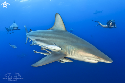 A Black tip shark