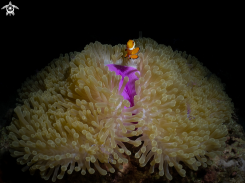 A Clownfish with anemone shrimps