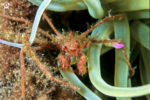 A Anemone Crab
