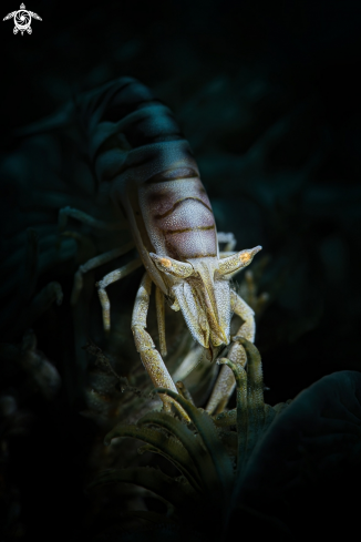 A commensal shrimp