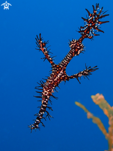 A Solenostomus paradoxus | Ornate Ghost Pipefish