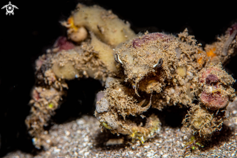 A Spider decorator crab