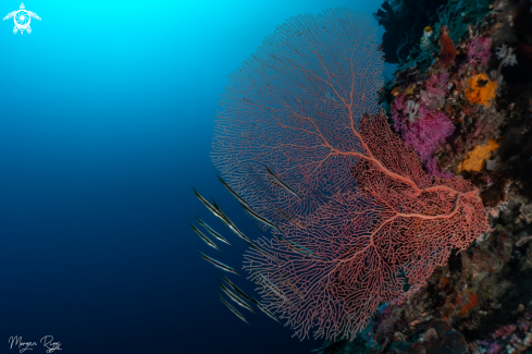 A Razor fish and sea fan