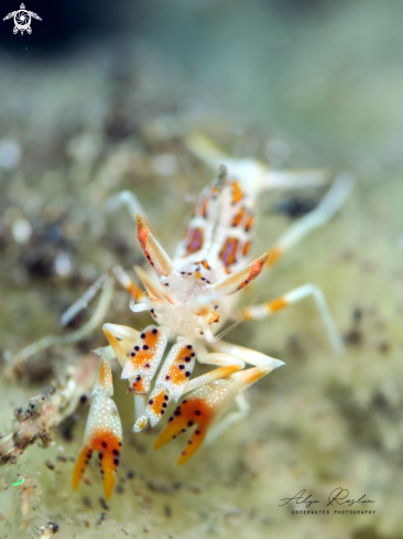A Spiny Tiger Shrimp