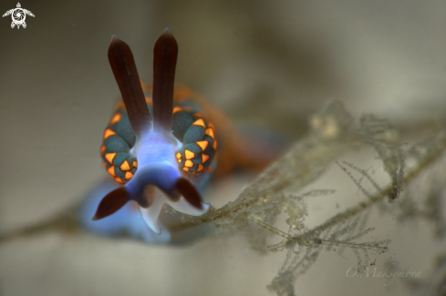 A Nudibranch Trinchesia sp.