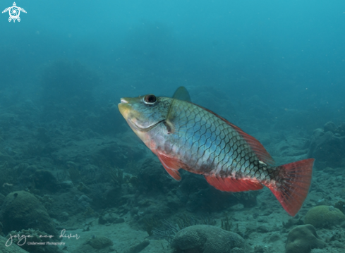 The Redband Parrotfish