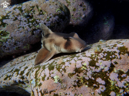 The Crested horn shark