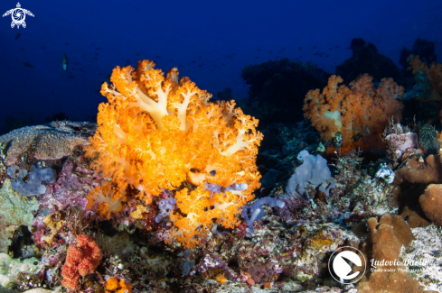 The Orange Soft Coral