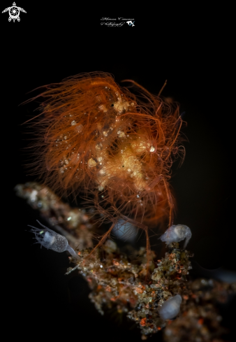 The Hairy Shrimp