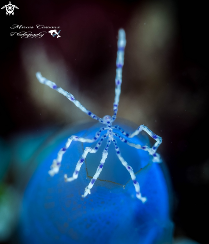 The Blue spotted spider