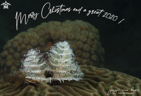 A Christmas Tree Worms