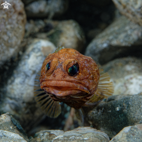A Jawfish