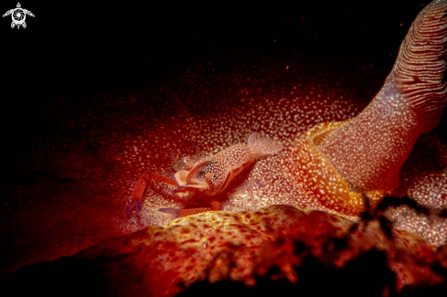 A Emperor shrimp on Spanish Dancer nudibranch