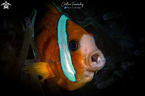 A Amphiprion akindynos | Clown fish