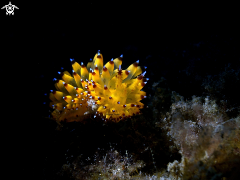 A Janolus sp