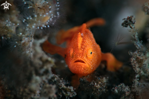 A Tiny juvenile frogfish, size 5-7mm