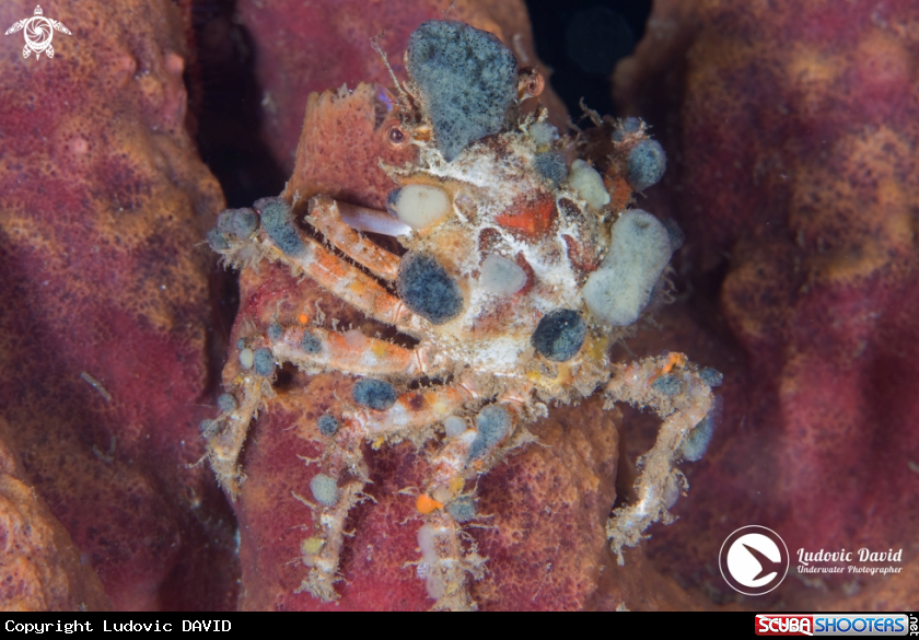 A Red Spider Crab