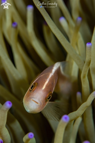 A Amphiprion akallopisos | Clown fish