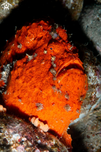 A Giant Frogfish