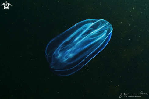 A Comb Jelly, ctenophore