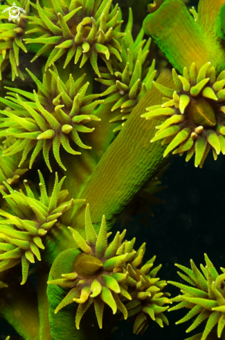 A green coral