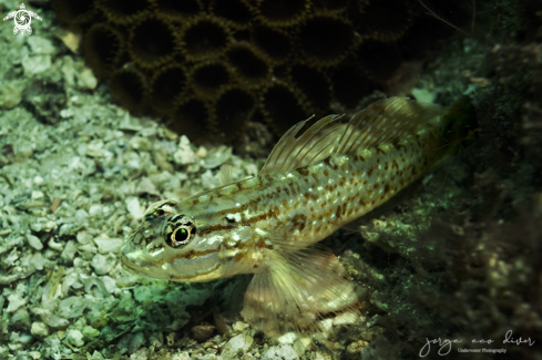 A Coryphopterus glaucofraenum | Bridley goby