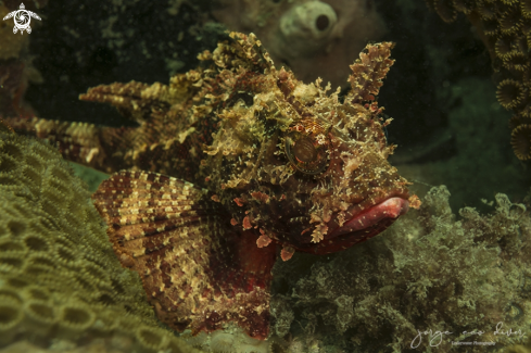 A Spotted scorpionfish