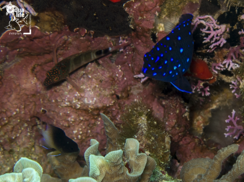 A Juvenile Yellowtail Damselfish, Juvenile Bicolor Damselfish,