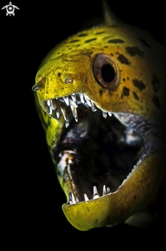 A Fimriated moray eel