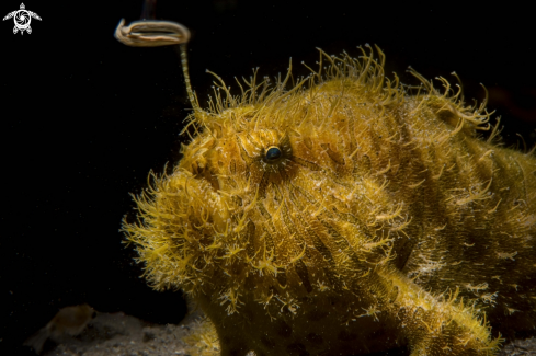 A Antennarius stratus | Hairy frogfish