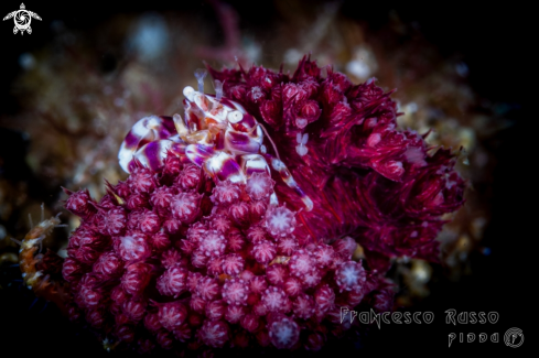 A Soft Coral Porcelain Crab