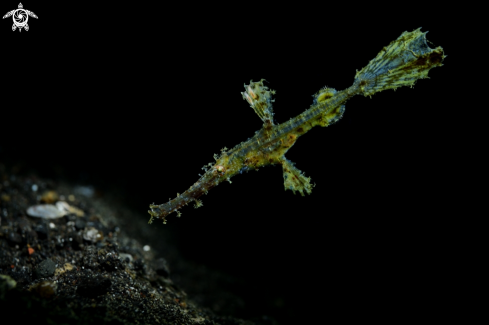 A Robust Ghostpipefish