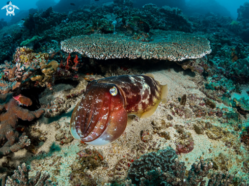 The Reef Cuttlefish