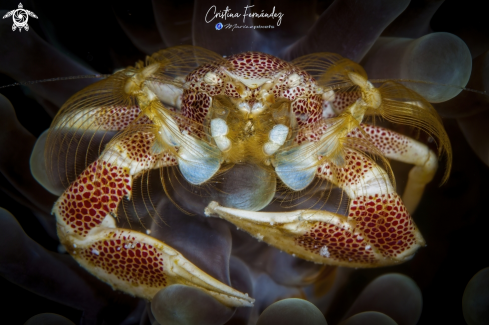The Porcelain crab