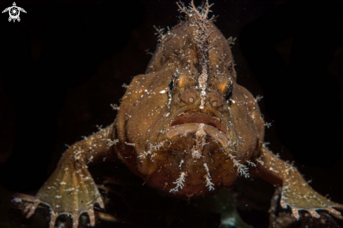 A Ocelated frogfish