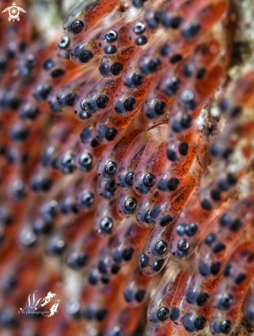 The Clownfish eggs