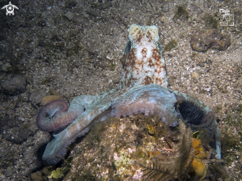 The Caribbean Reef Octopus