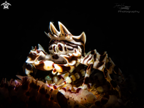 The Zebra Crab